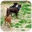 Photo 3 - Miniature Pinscher Dog for adoption in Crofton, Maryland - PATRICK