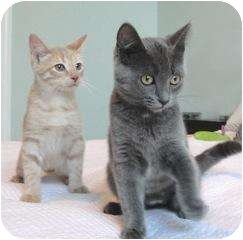 Domestic Shorthair Kitten for adoption in Chicago, Illinois - Best Friends Isis and Phoenix