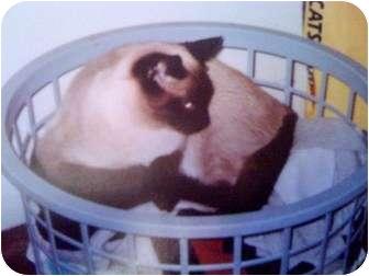 Siamese Cat for adoption in Baton Rouge, Louisiana - Darranger