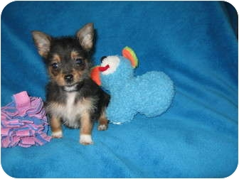 Yorkie, Yorkshire Terrier/Pomeranian Mix Puppy for adoption in Wauseon, Ohio - Gracie