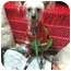 Photo 1 - Chinese Crested Dog for adoption in Palm Harbor, Florida - Dotty