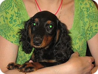 Dachshund Puppy for adoption in Allentown, Pennsylvania - Conrad