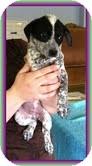 Australian Cattle Dog/Beagle Mix Puppy for adoption in Staunton, Virginia - Wendy