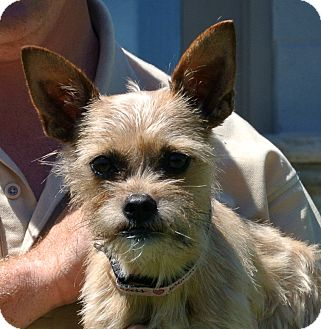 Terrier (Unknown Type, Small) Mix Dog for adoption in white settlment, Texas - Suki
