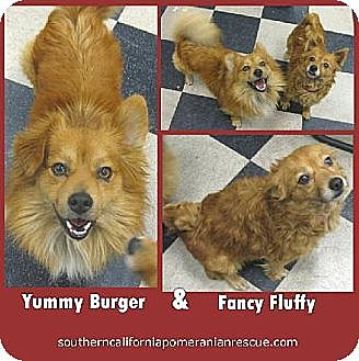 Pomeranian Dog for adoption in Irvine, California - Yummy and Fancy