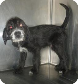 Labrador Retriever/Terrier (Unknown Type, Medium) Mix Puppy for adoption in Georgetown, South Carolina - Dallas