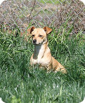 Dachshund/Chihuahua Mix Dog for adoption in Yuba City, California - 03/08 Hettie