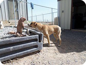 Labrador Retriever Mix Dog for adoption in Edgewood, New Mexico - Max