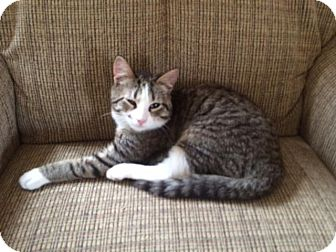 Domestic Shorthair Kitten for adoption in Hamilton, New Jersey - Leo