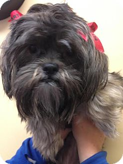 Shih Tzu Puppy for adoption in PLAINFIELD, Indiana - Sophie