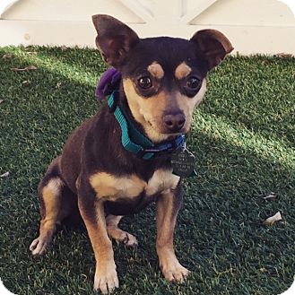 Chihuahua Mix Dog for adoption in Las Vegas, Nevada - Katya