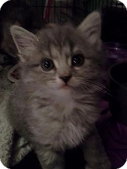 Domestic Mediumhair Kitten for adoption in Columbus, Ohio - Zephyr