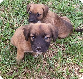 Shepherd (Unknown Type)/Chow Chow Mix Puppy for adoption in Charlotte, North Carolina - Oscar