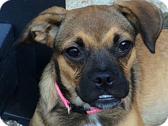 Pug/French Bulldog Mix Puppy for adoption in Middletown, Rhode Island - Baby