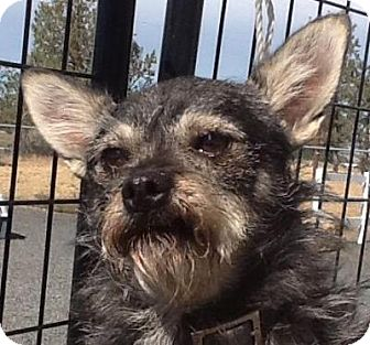 Terrier (Unknown Type, Small) Mix Dog for adoption in Madras, Oregon - Peewee
