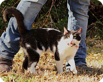 Polydactyl/Hemingway Cat for adoption in Glenpool, Oklahoma - Smith