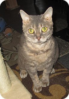 Bengal Cat for adoption in Witter, Arkansas - Polly (pure Bengal/Pixie-bob)