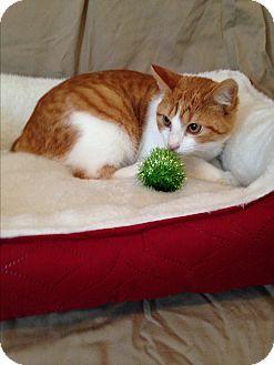 Manx Kitten for adoption in Simpsonville, South Carolina - Haley