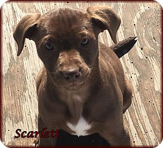 Labrador Retriever Mix Puppy for adoption in Lincoln, Nebraska - SCARLETT