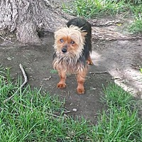 Yorkie, Yorkshire Terrier Dog for adoption in Broken Bow, Nebraska - Maddie Jo