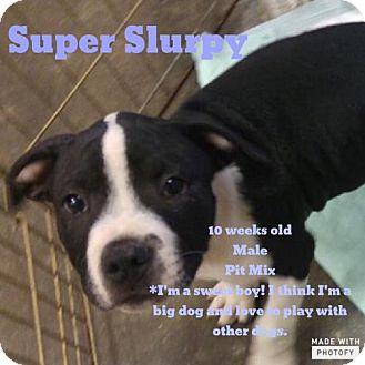 American Bulldog Mix Puppy for adoption in Phoenix, Arizona - Super Slurpy
