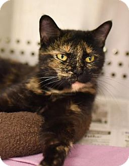 Domestic Shorthair Cat for adoption in Reisterstown, Maryland - Willow