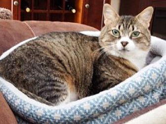 Domestic Shorthair Cat for adoption in Wasilla, Alaska - Petunia
