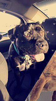 Labrador Retriever/Boxer Mix Dog for adoption in Las Vegas, Nevada - Beans