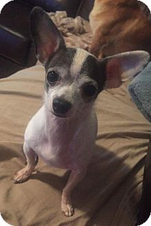 Chihuahua Dog for adoption in Mount Airy, North Carolina - Dottie