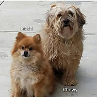 Lhasa Apso Mix Dog for adoption in Studio City, California - Chewy (part of bonded pair)