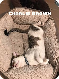 Domestic Shorthair Cat for adoption in Wichita Falls, Texas - Charlie Brown