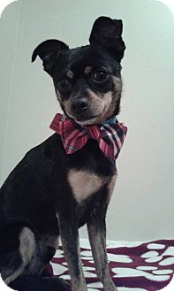 Miniature Pinscher/Chihuahua Mix Dog for adoption in Hazelwood, Missouri - James