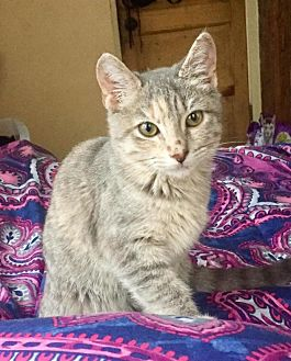 Domestic Shorthair Cat for adoption in Waggaman, Louisiana - Roxy