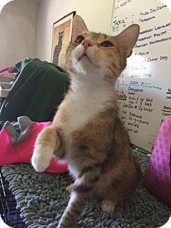 Domestic Shorthair Cat for adoption in Danbury, Connecticut - Suzie