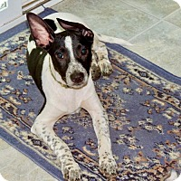Rat Terrier Mix Puppy for adoption in Richmond, Virginia - Keegan (VA)
