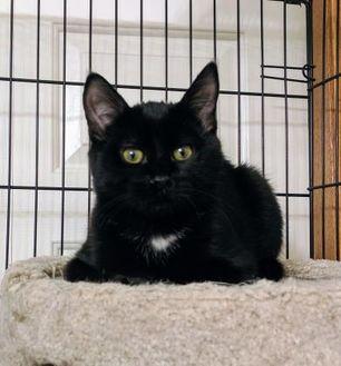 Domestic Shorthair/Domestic Shorthair Mix Cat for adoption in Calgary, Alberta - Derek