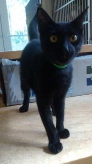 Domestic Shorthair/Domestic Shorthair Mix Cat for adoption in St. Thomas, Virgin Islands - Noel