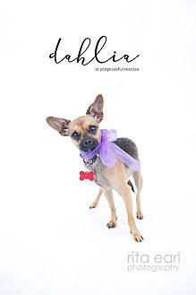 Chihuahua Mix Dog for adoption in Los Angeles, California - Dahlia