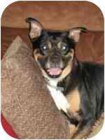 Pug/German Shepherd Dog Mix Dog for adoption in Warren, New Jersey - Olive