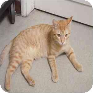 Domestic Shorthair Cat for adoption in Phoenix, Arizona - Johnny