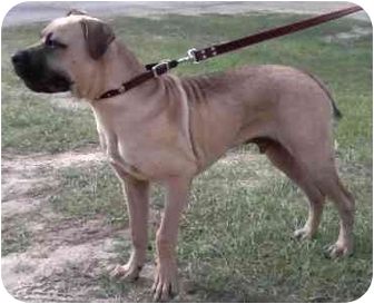 Mastiff Mix Dog for adoption in Santa Rosa Beach, Florida - Spike