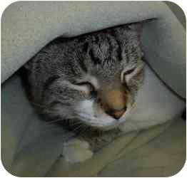 Siamese Cat for adoption in Walker, Michigan - Angel