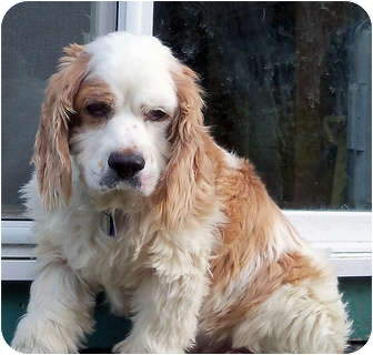 Cocker Spaniel Dog for adoption in Tacoma, Washington - Tucker