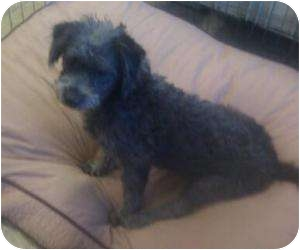 Poodle (Toy or Tea Cup)/Terrier (Unknown Type, Small) Mix Puppy for adoption in Phoenix, Arizona - Jiffy