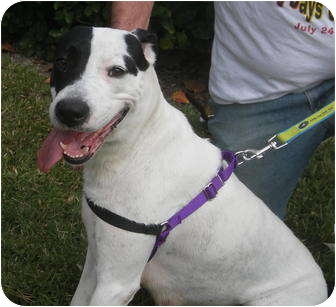 American Pit Bull Terrier Mix Dog for adoption in Sarasota, Florida - Angel