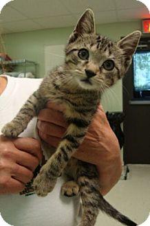 Domestic Shorthair Kitten for adoption in Brattleboro, Vermont - Tommy ($50 adoption fee)