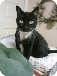 Domestic Shorthair Cat for adoption in bloomfield, New Jersey - Maude