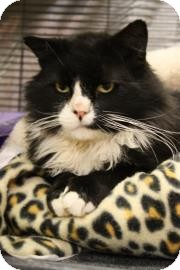 Domestic Longhair Cat for adoption in West Des Moines, Iowa - Dr. Fluffy