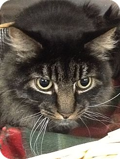Domestic Longhair Cat for adoption in Webster, Massachusetts - Juicy