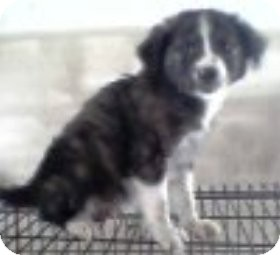 Australian Shepherd/Border Collie Mix Puppy for adoption in Oswego, Illinois - The Aussie Babies